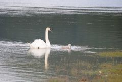 wild swans Arkivbilder