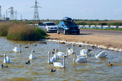 Wild swans and ducks swim in the lake near  road . Crimea. Stock Images
