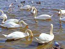 Wild Swans and ducks on the water Stock Photography