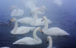 Swans in the fog royalty free stock photography