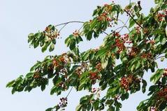Wild sweet cherry (prunus avium) branch Royalty Free Stock Images