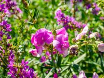 Wild sweet pea flowers along the river stock images