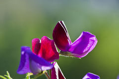 Wild Sweet Pea Flowers Stock Image