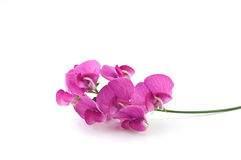 Wild sweetpea. Vivid magenta blossoms of the wild sweetpea on white background with copy space, in horizontal format Royalty Free Stock Photos