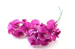Wild Sweetpea. Vivid magenta blossoms of the wild sweetpea on white background with copy space, in horizontal format Stock Photos
