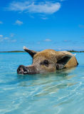 Wild, swiming pig on Big Majors Cay in The Bahamas.  Royalty Free Stock Photography