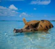 Wild, swiming pig on Big Majors Cay in The Bahamas Royalty Free Stock Photos