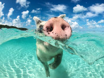 Wild, swiming pig on Big Majors Cay in The Bahamas.  Royalty Free Stock Images