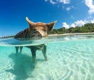 Wild, Swiming Pig On Big Majors Cay In The Bahamas Stock Image