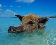 Wild, swimming pig on Big Majors Cay in The Bahamas Royalty Free Stock Image