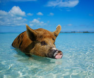 Wild, swimming pig on Big Majors Cay in The Bahamas.  Royalty Free Stock Image