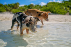 Wild, swimming piglets on Big Majors Cay in The Bahamas.  Stock Images