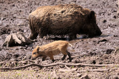 Wild Swine Royalty Free Stock Images
