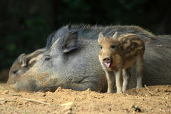Wild swine Royalty Free Stock Images
