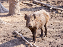 Wild swine playing in the wood Royalty Free Stock Images