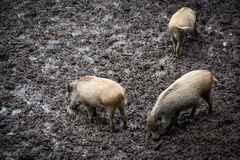 Wild swines (Sus scrofa) Royalty Free Stock Photo