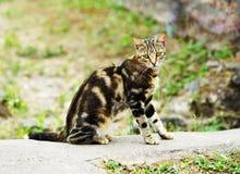Wild tabby cat Royalty Free Stock Image