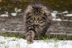 Wild tabby kitten hunting in the snow Stock Image