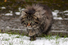 Wild tabby kitten hunting in the snow Stock Photos