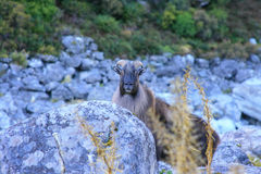 Wild Tahr. A New Zealand Himalayan Tahr with Winter Coat. This is a wild Bull and estimated at 80-90kg Stock Photo