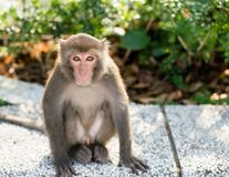 Wild Taiwanese Formosan rock macaque monkey stock image