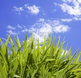 Wild Tall Grass. Tall green grass in front of a cloudy sky stock image