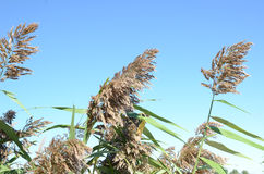 Wild Tall Grass growing near the water. Stock Photography