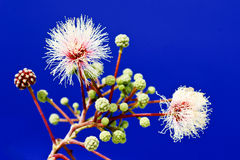 Wild Tamarind tree, blooming and budding Stock Images