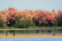 Wild tamarink blooms Royalty Free Stock Images