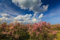 Wild tamarink and blue sky pastel Stock Photos