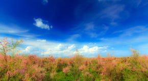 Wild tamarink, Tamarix ramosissima and blue sky Stock Photo