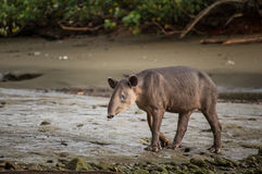 Wild Tapir. At Corcovado National Park, Costa Rica stock images
