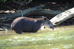 Wild tapir in river,corcovado ,costa rica Stock Photography