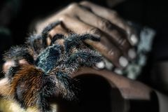 A wild tarantula is sitting on a hand in the Amazonas stock photography