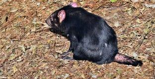 Wild tasmanian devil Stock Image