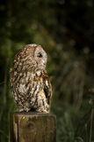 Wild tawny owl sat on post at edge of field (Strix aluco) royalty free stock image