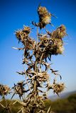 Wild teasel. Teasel growing wild with a blue sky background Stock Images