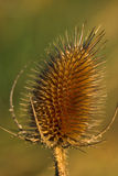 Wild Teasel Stock Photos