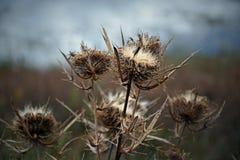 wild teasel Fotografering för Bildbyråer