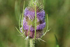 Wild teasel Royalty Free Stock Images