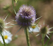 Wild teasel. Close up of wild teasel in sunlight Stock Photo