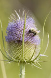 Wild Teasel Stock Images