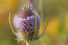 Wild teasel, Dipsacus fullonum Royalty Free Stock Photography