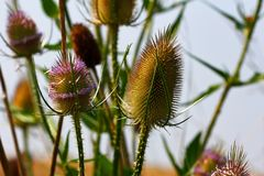Free Wild Teasel Dipsacus Fullonum On The Late Summer Field Royalty Free Stock Photography - 118070837