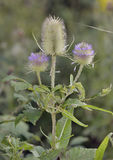 Wild Teasel Royalty Free Stock Photography