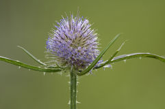 Wild Teasel Royalty Free Stock Image