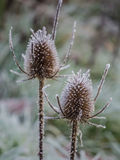 Wild teasel on a frosty morning Royalty Free Stock Images
