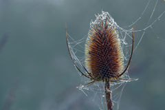 Wild teasel head with spider webs and dew drops, copy space in t Royalty Free Stock Photo