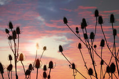 Wild teasel plants and beautiful sunset sky Royalty Free Stock Photos
