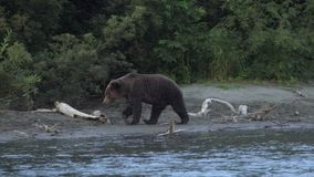 Wild terrible hungry brown bear walking along riverbank, looking around in search of red salmon